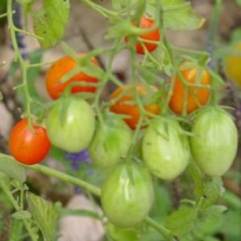 These grape tomatoes were in my backyard flower garden