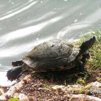 Hawaii, turtle