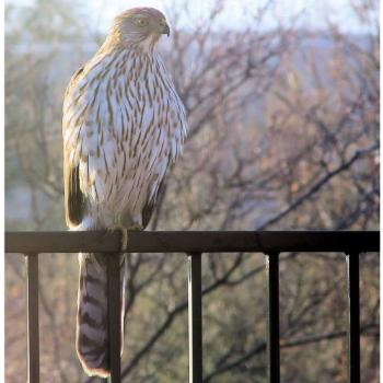 Cooper's Hawk on my fence - Tucson