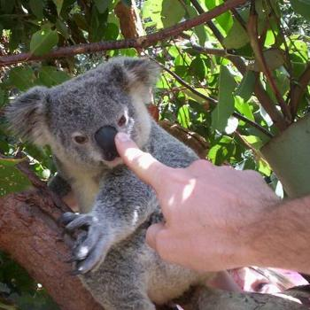 """Follow My Finger""-zoo keeper confusing koala at Alma Park Zoo, Brisbane"