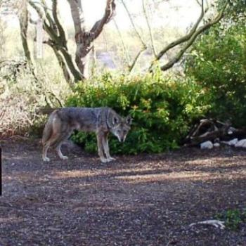 Coyote Sneaking through yard in Tucson, Arizona