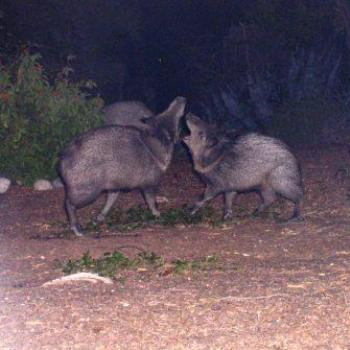 Javelinas at night in Tucson, Arizona, backyard