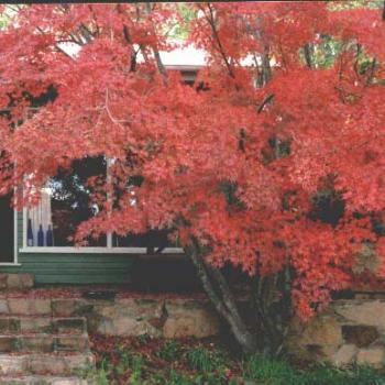 Japanese Maple (Granite Belt Qld.Aust)
