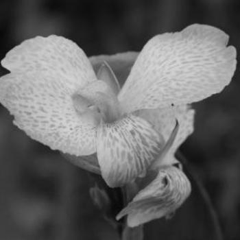 Flower in Black & White  Sue/OK