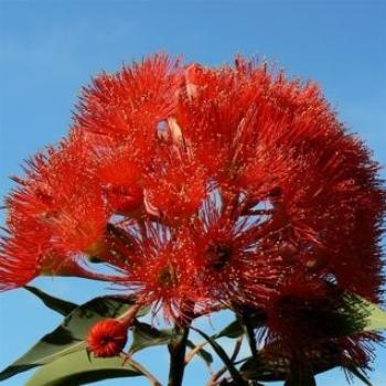 Our Flowering Gum (Ian/Sydney)