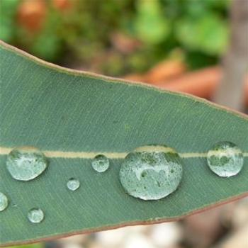 Raindrops and Gumleaf (Ian/Sydney)