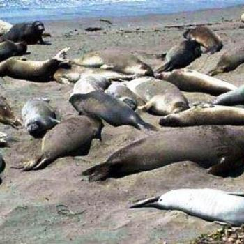 Elephant Seals Sunning, California  Sue / OK
