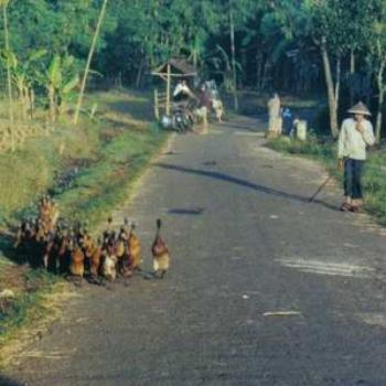 Duck Herding, Central Java, Indonesia
