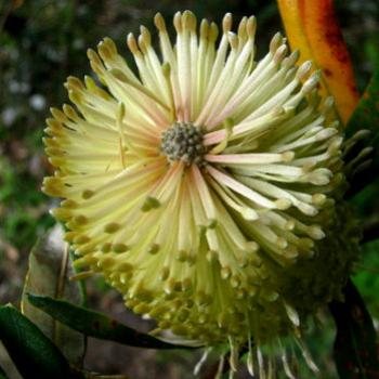 banksia serrata flower Kate/Sydney