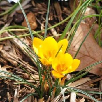 It's only February & the Crocus are in bloom Sue / OK