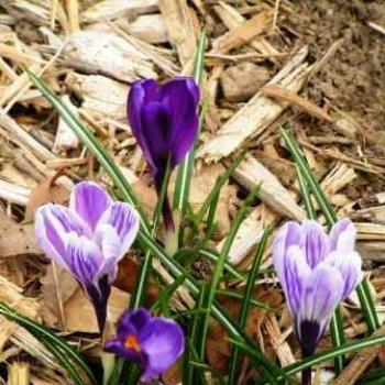 Crocus Sue/OK
