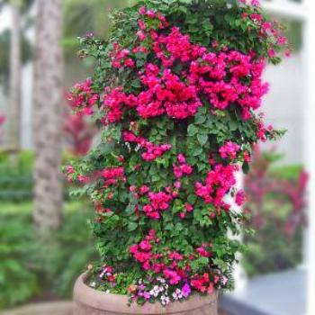 Bouganvilla at SeaWorld - Orlando