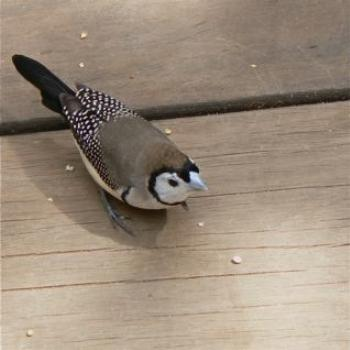 Double-Barred Finch (Ian/Sydney)