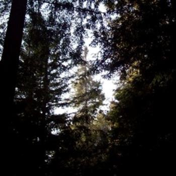 Redwood forest, Soquel/ dino