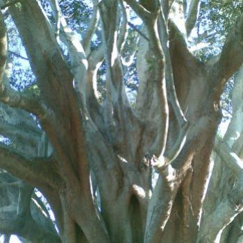 Moreton Bay Fig (CynB)