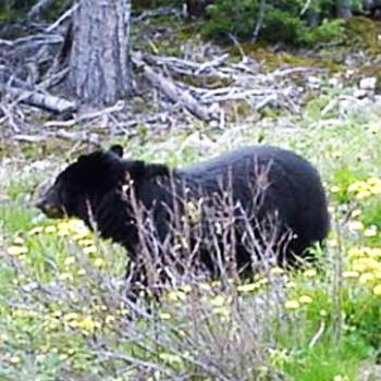 Black bear in Alaska  Sue/Ok