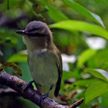 red-eyed vireo in our yard - Peg