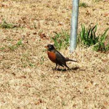 First Robin of Spring 2008  Sue/Ok