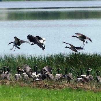 Watch out! I'm coming into land. Magpie geese - fi NT