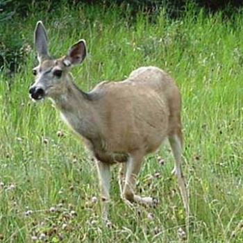 Curious deer   Sue / OK