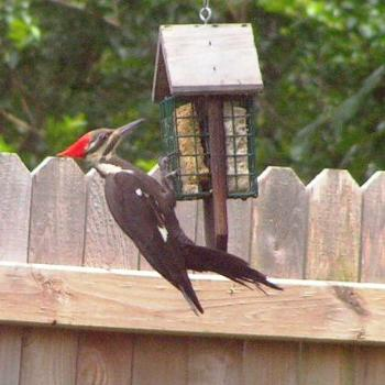 Pileated Woodpecker at the feeder  Sue / OK