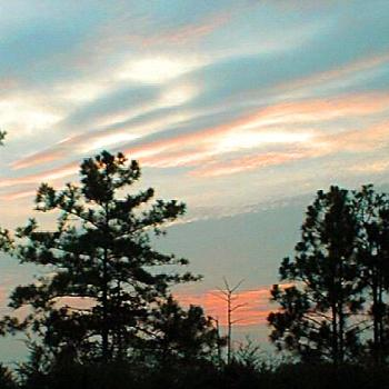 Sky in the pines. / kr NC