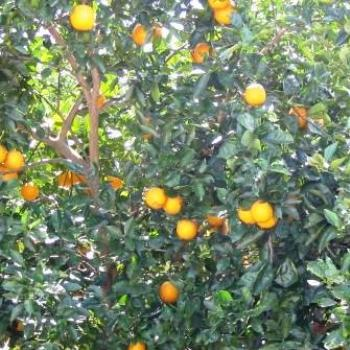Florida Oranges   Sue/Ok