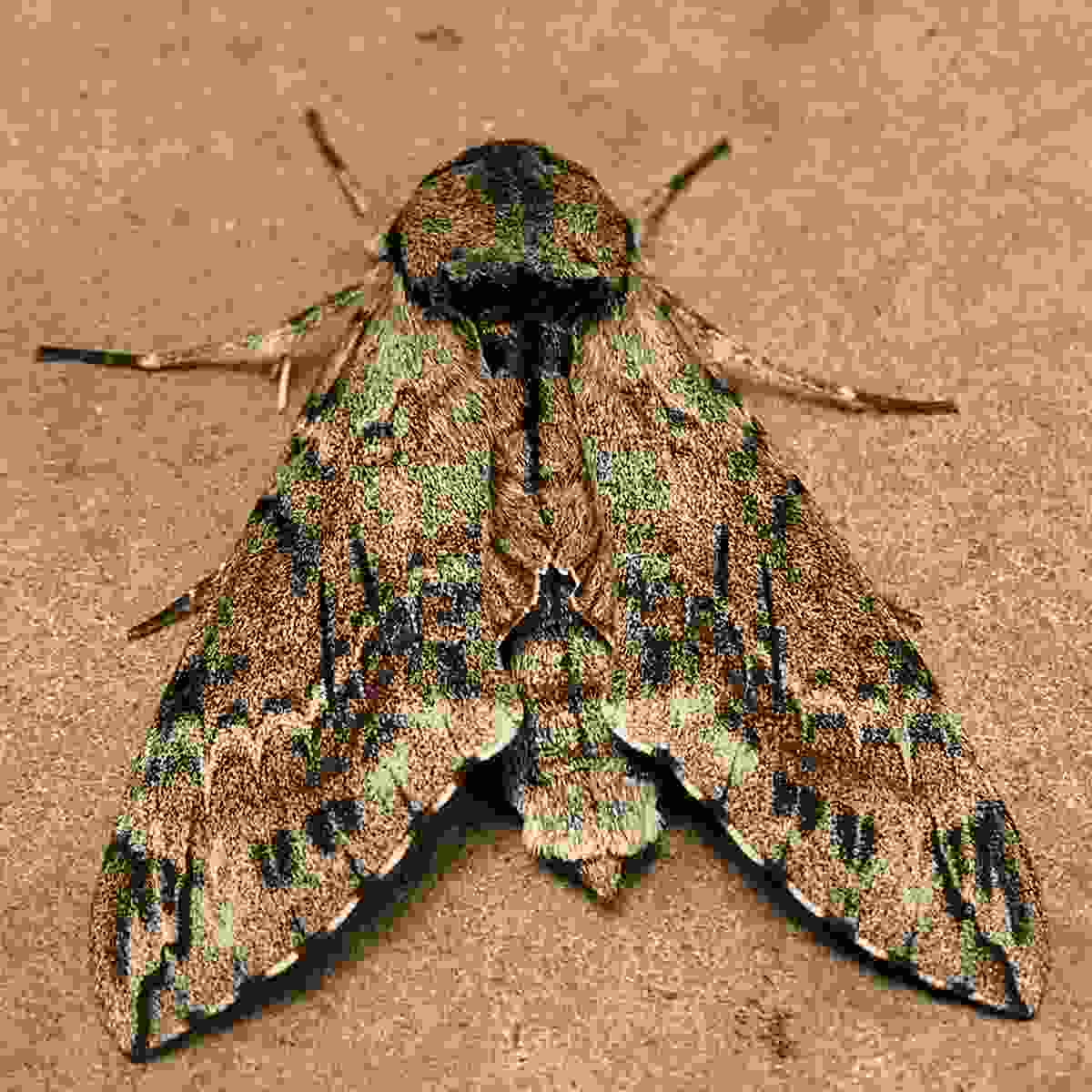 one of sydney's moths