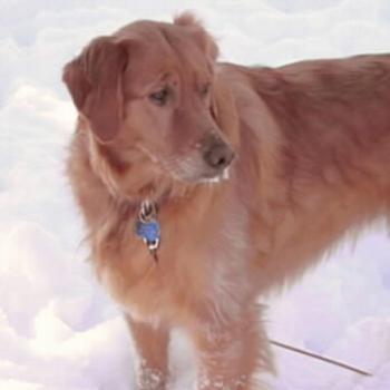 My Golden Retriever after a good snow!