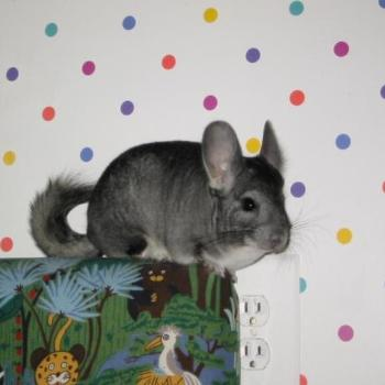 my chinchilla