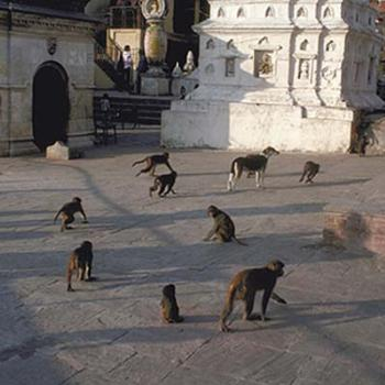 Monkeys and dog, Kathmandu