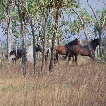 Brumbies - West of the Daly- towards Peppimenarti.