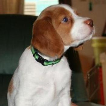 Rusty, my Brittany puppy, at 6 weeks