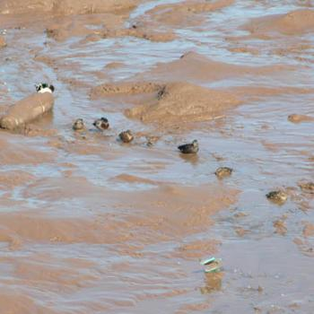 Ducks in the mud at low tide, Wolfville, NS, Canada