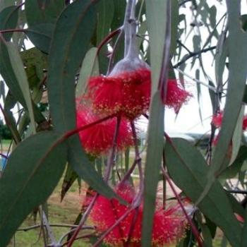 Eucalyptus in Flower