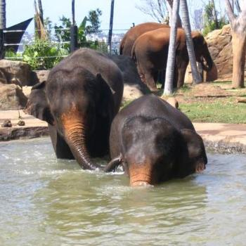 Elephant Waterplay @ Taronga
