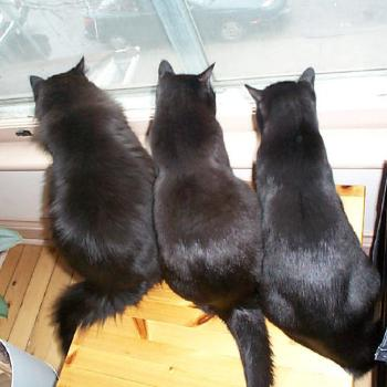 3 black cats watching a bird