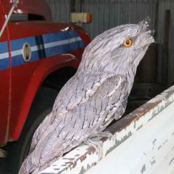 Tawney Frogmouth- Outback Oz