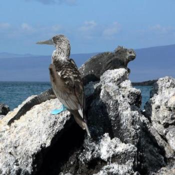 Galapagos iguana & blue-footed booby