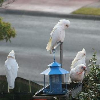 Corellas Feeding, Lake Macquarie (Ian)