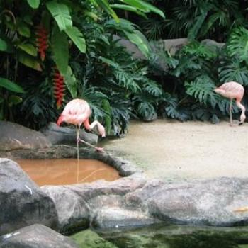 Flamingos, Singapore (Ian)