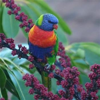 My Son's Photo of a Rainbow Lorikeet