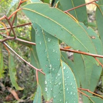 Eucalyptus Leaves (Ian)