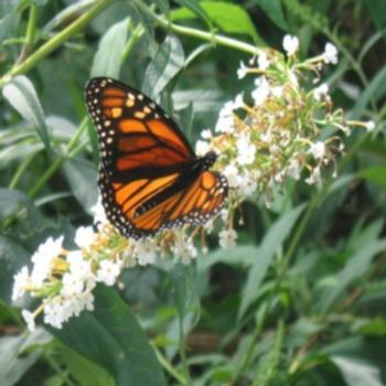 Monarch butterfly on Buddleja