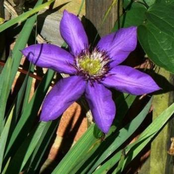 Clematis in an English Garden (Ian/Sydney)