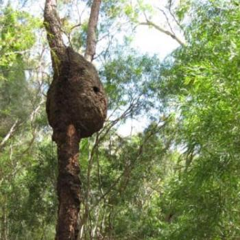 Termite Nest @ Ku-ring-gai Wildflower Garden