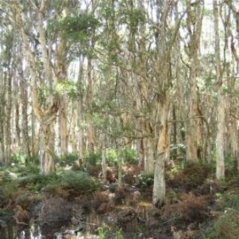 Melaleuca Swamp (my daughter's photo) (Ian/Sydney)