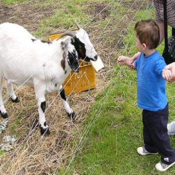 Bailey (age 22mths) feeding the goats at an animal park, (Anne/Albany)