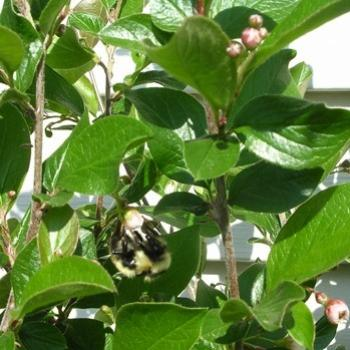 Bumblebee on a cotoneaster
