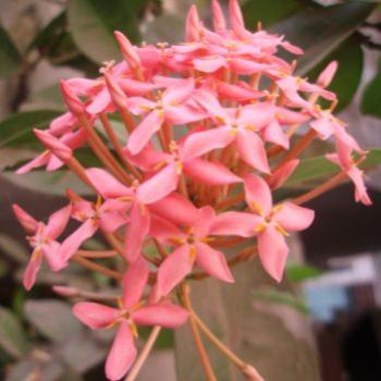Exora, pink, from my garden ap/India